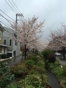 2014_cherry_blossom_0238