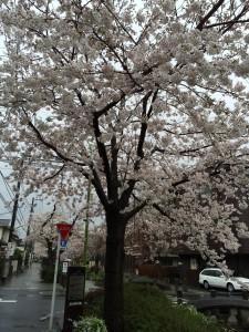 2014_cherry_blossom_0239