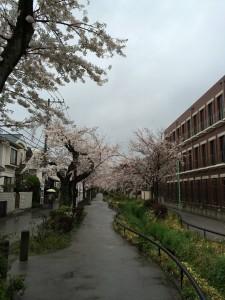 2014_cherry_blossom_0241