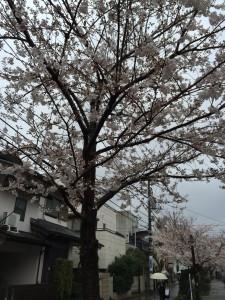 2014_cherry_blossom_0242