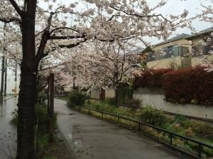 2014_cherry_blossom_0243