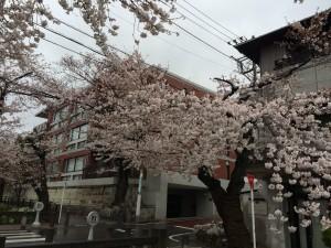 2014_cherry_blossom_0245