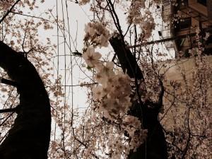 2014_cherry_blossom_0246