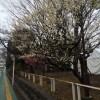 本日2/7(土)から、羽根木公園で「せたがや梅まつり2015」開催