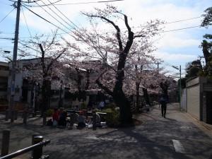 2015_cherry_blossom_0001