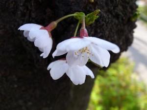 2015_cherry_blossom_0002