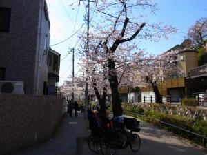 2015_cherry_blossom_0005