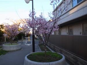 2015_cherry_blossom_0053