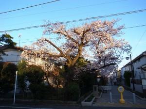 2015_cherry_blossom_0054