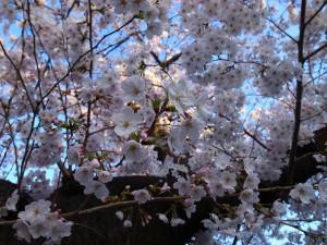 2015_cherry_blossom_0055