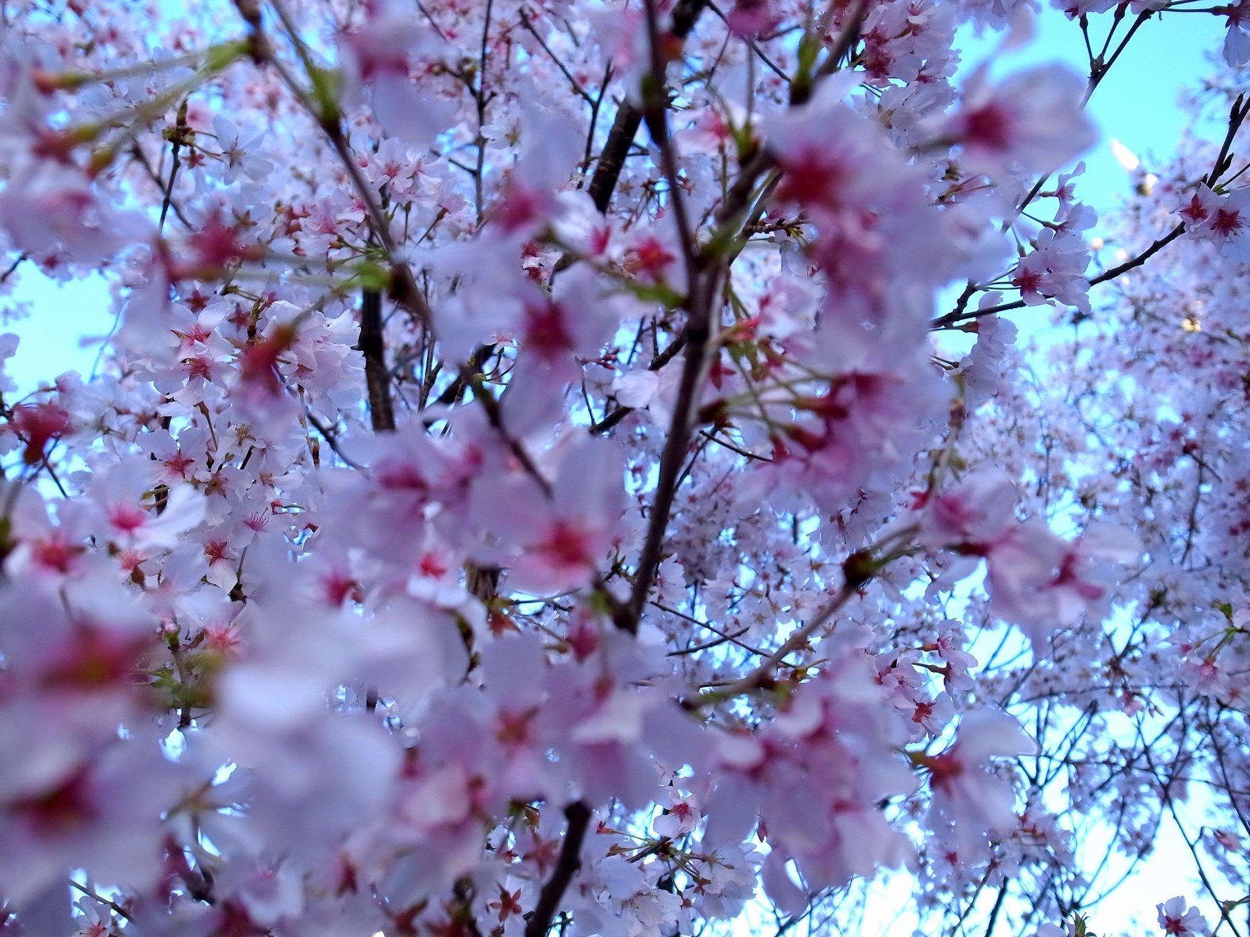 2015年 北沢川緑道の桜