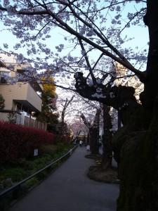 2015_cherry_blossom_0057