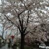 2014年 北沢川緑道の桜