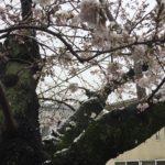 雪の降る中の桜【北沢川緑道】