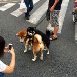 三軒茶屋の太子堂商店街に激カワな背中乗り柴犬が出現